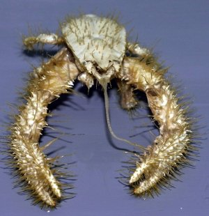 Источник картинки: http://www.nature.com/news/yeti-crab-grows-its-own-food-1.9537#/b2