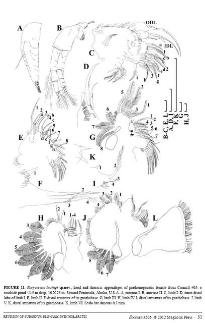 Eurycercus beringi sp.nov.